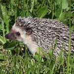 spikes on the back of a hedgehog
